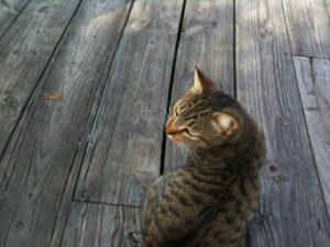 grey tiger cat